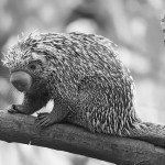My life as a porcupine
